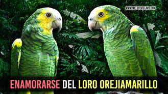 El Loro Orejiamarillo del Llano