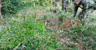 Erradicación de cultivos favorecen el medio ambiente