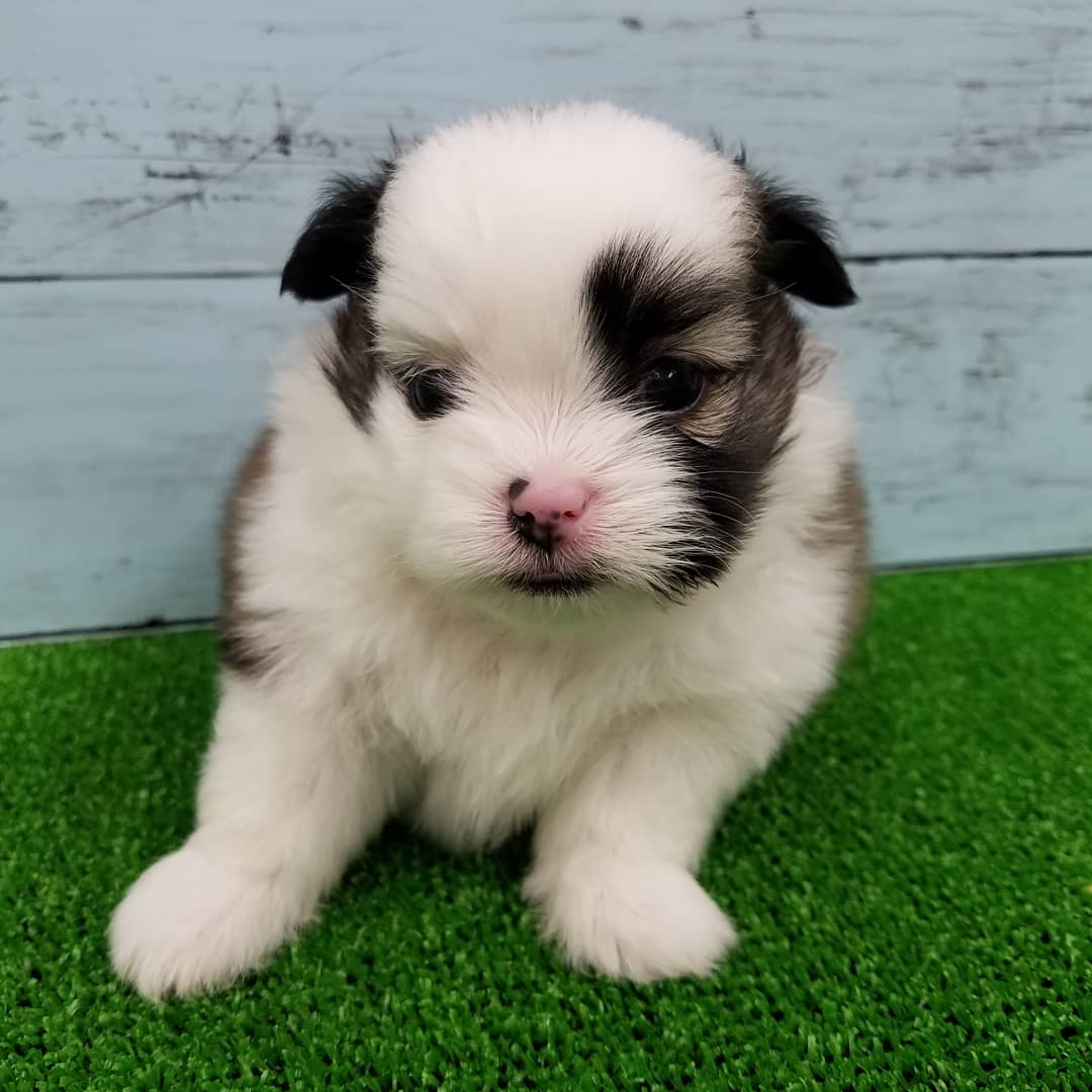 MIX犬(ポメラニアンⅩシーズー)