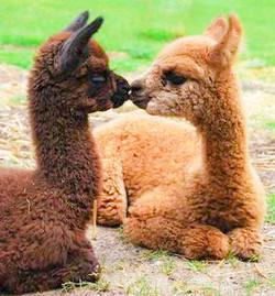 alpacas2 part2