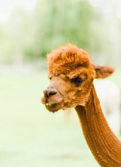 alpacas 4