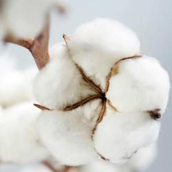 Cotton-Tree-Square_1000px.jpg