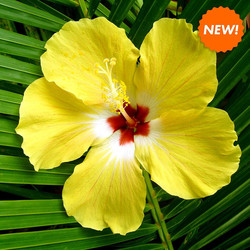 hibiscus-palm-fragrance-candle-thesoyfar