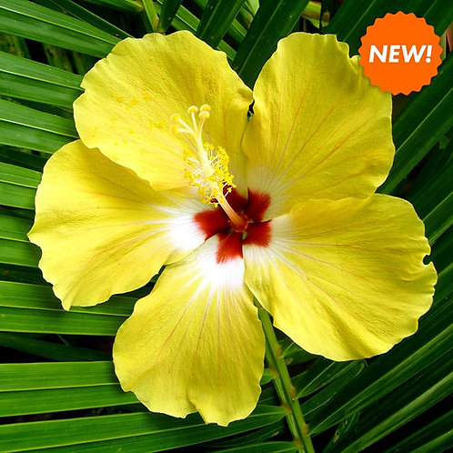 Hibiscus Palm