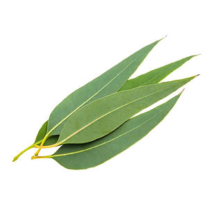 eucalyptus-leaf.jpg