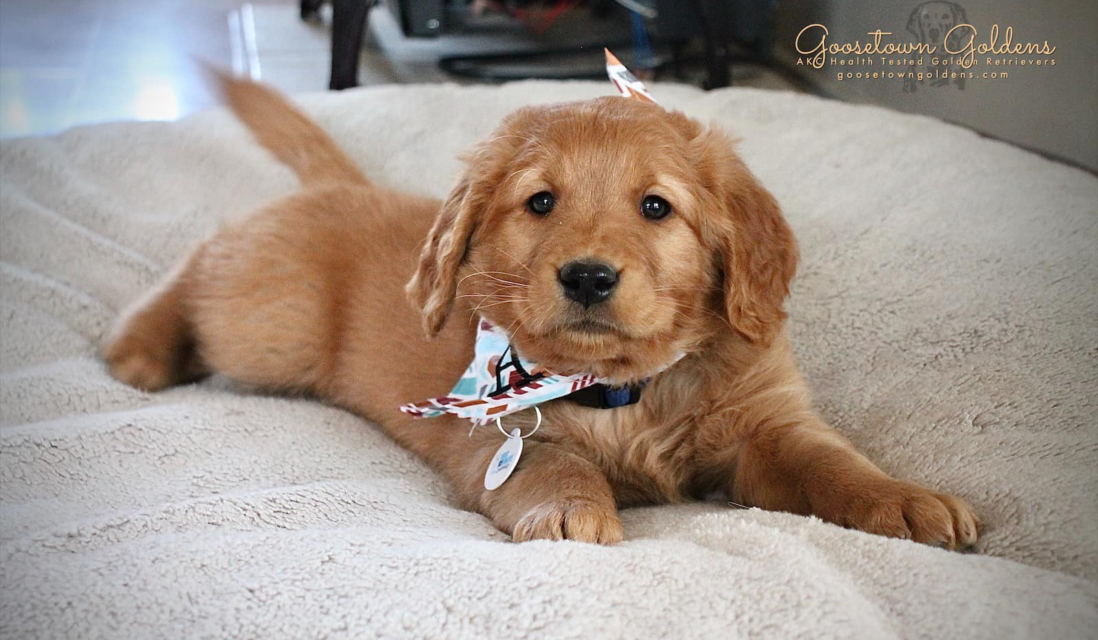 Puppy Bandanas