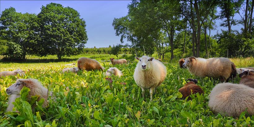 8HandsFarm-SHEEP IN FIELD LIGHT SKY.png