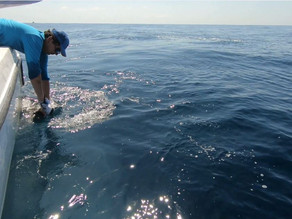 Releasing Sailfish in the pacific