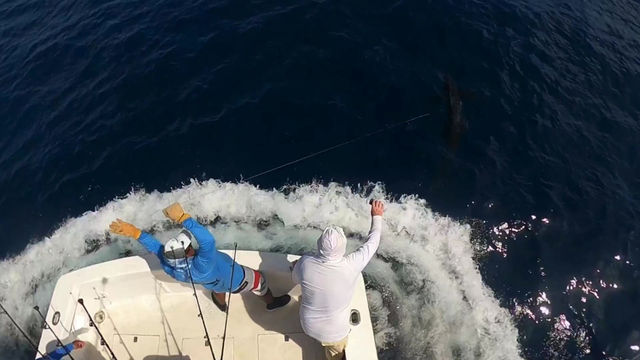 500 LBS Blue Marlin Released