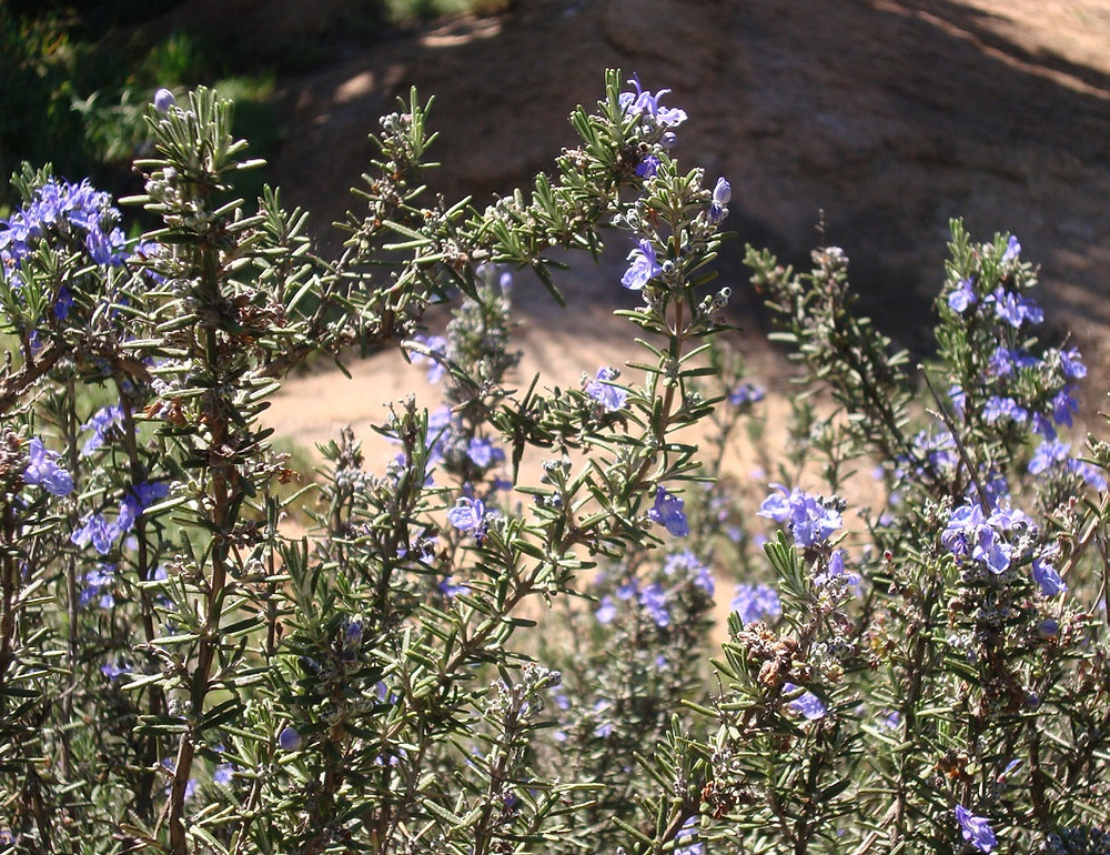Fig 2. Rosemary thrives if irrigated with greywater.