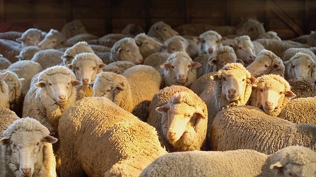 MERINO SHEEP.png