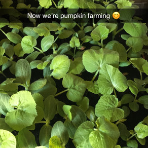 No.6 Now we're pumpkin farming