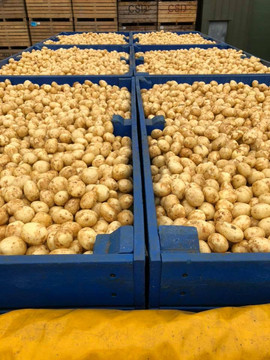 Potatoes ready for the factory
