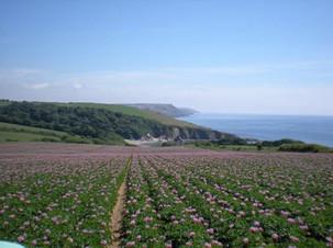 Potatoes flowering in Fowey
