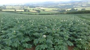 Potatoes in flower