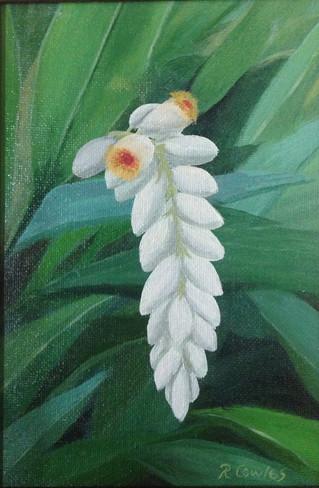 White Shell Ginger