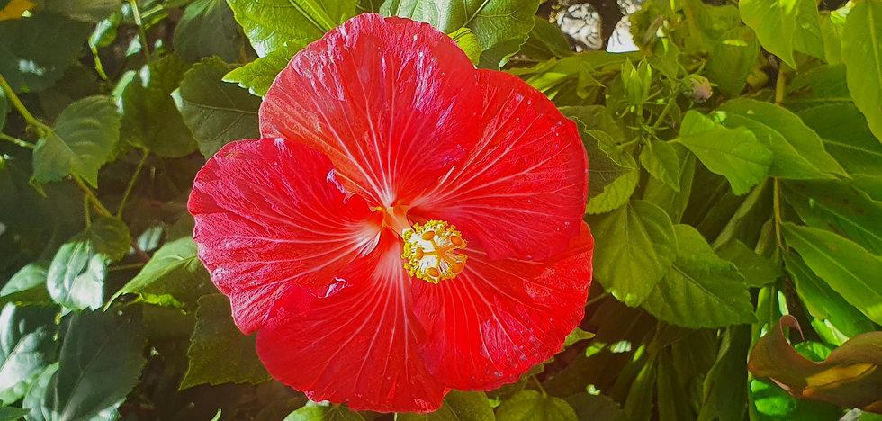 Red Hibiscus 01_edited_edited.jpg