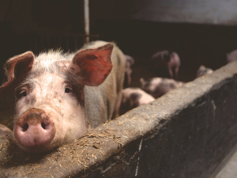 5 Products That Uses Different Components From Pigs
