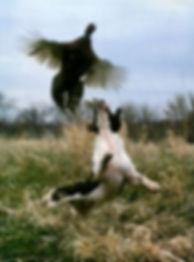 trained bird dog
