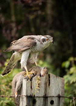 Goss Hawk with Grey squirrel