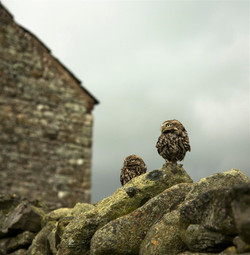 Young Short eared owls