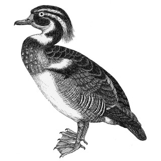Dorris the duck