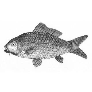 Carl the carp