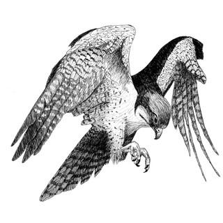 Faruq the falcon