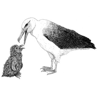 Albatross and chick