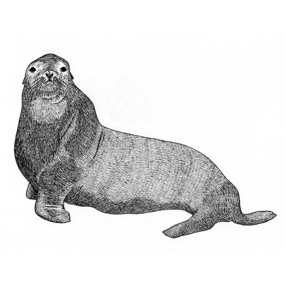 Seigfried the seal