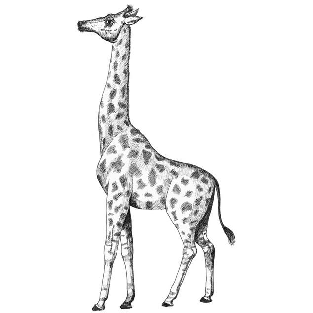 Jenny the giraffe