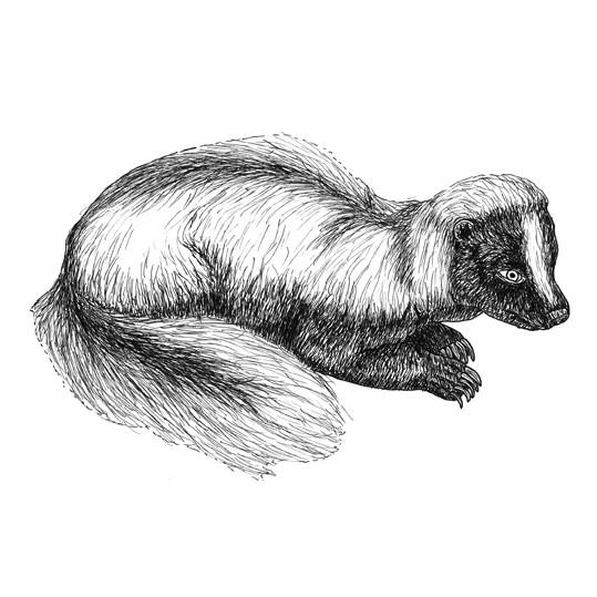Sandra the skunk