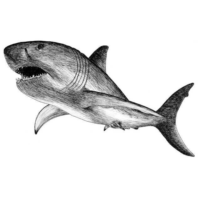Shania the great white shark