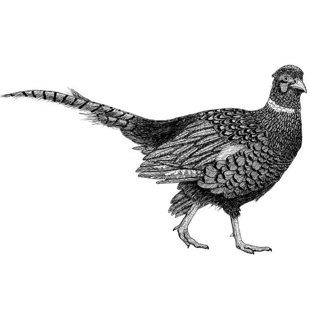Phillippe the pheasant