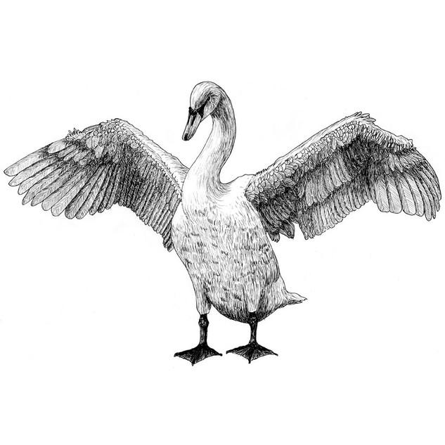 Sarah the swan