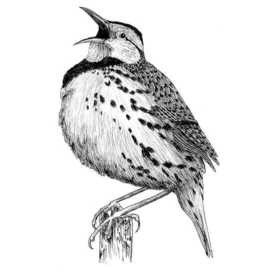 Methuselah the meadowlark
