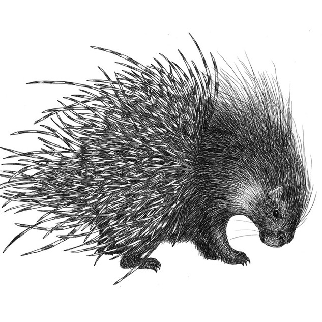 Polly the porcupine