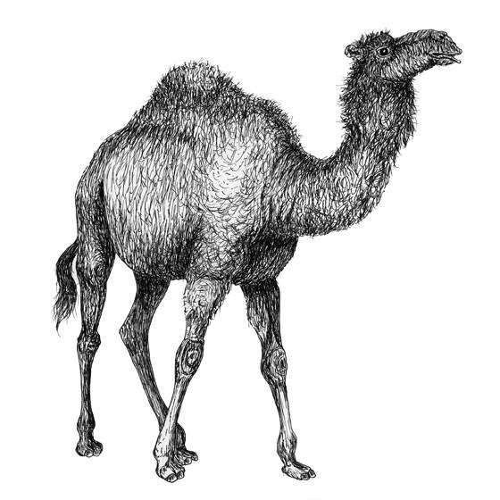 Charlene the dromedary camel