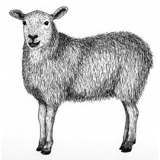 Sophia the sheep