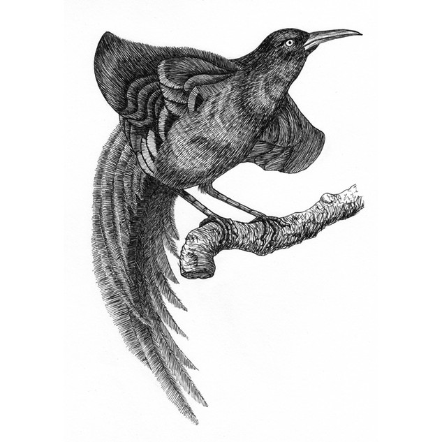 Paul the bird of paradise
