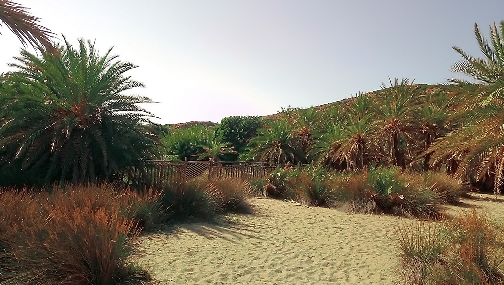 Photo of palm trees at the eastern part of the palm forest at Vai, North - East Crete, Greece, where is the fence at the sand dunes