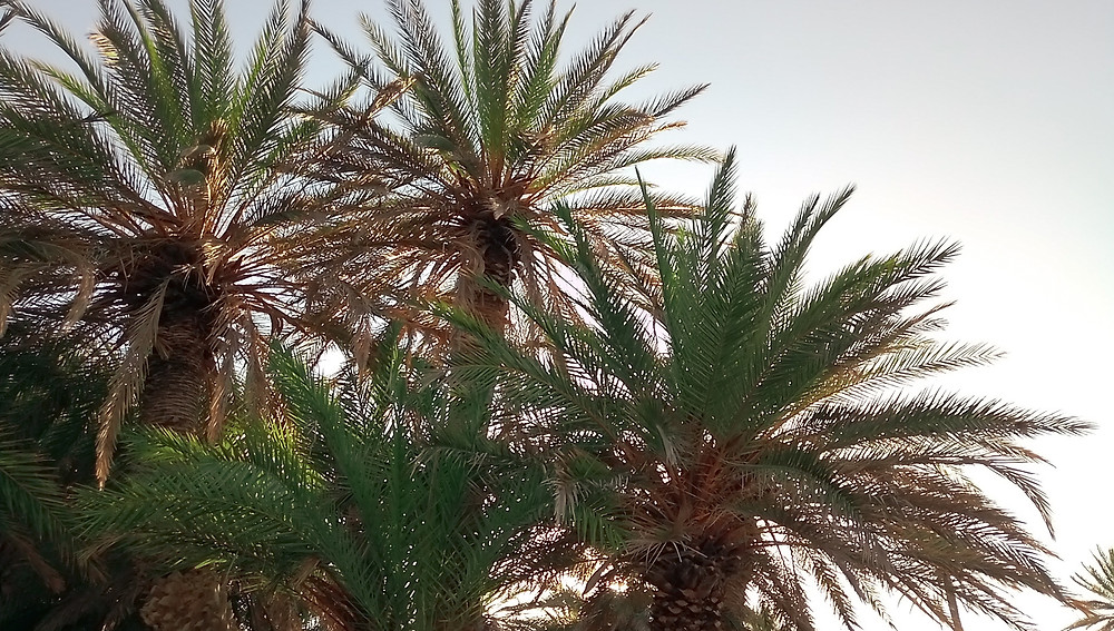 Photo of palm trees of the Phoenix theophrasti specie at Vai, North - East Crete