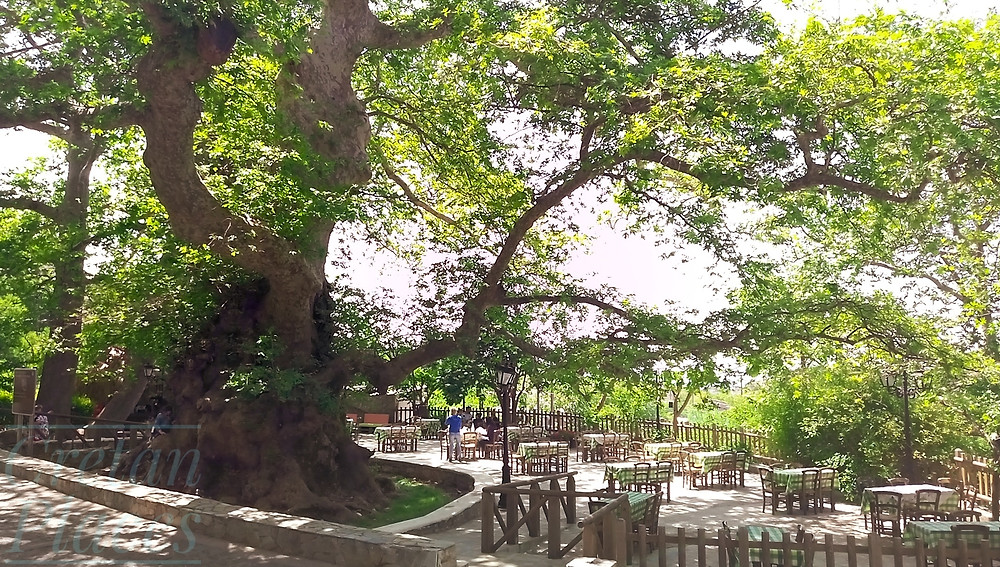 One of the oldest trees in the world, listed Monument of Nature that has to be protected
