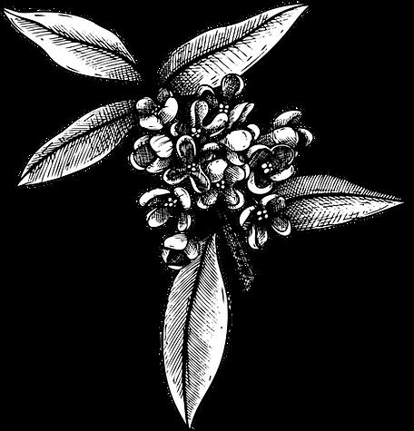 Olivenzweig mit Blüten