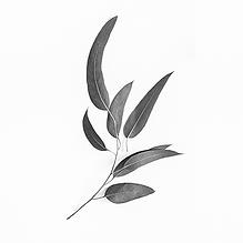 Eukalyptus wirkt kühlend und antispetisch