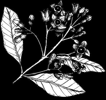 Bild eines Sandelholz Strauchs mit Blüten