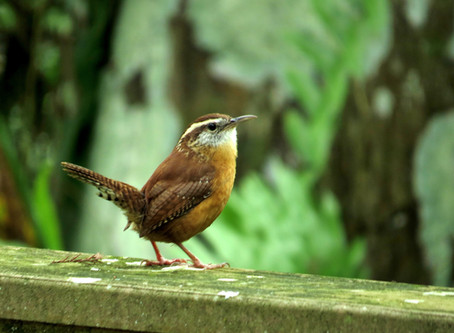 Eastern Birding Begins... in Central Kansas?