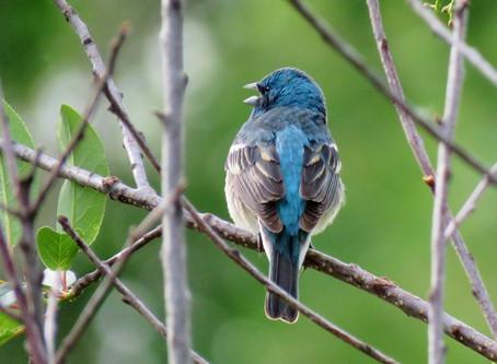 Exploring Bird Song Along a Foothill Canyon Stream