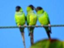 Nanday Parakeet.JPG
