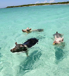 Swimming with pigs.jpg